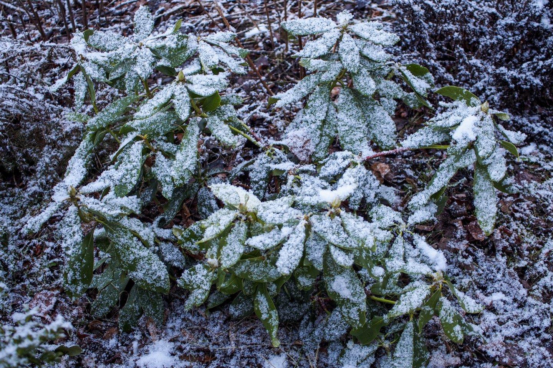 Trumpam sugryžusi žiema,sniegas,pavasaris,gėlės,orai<br>V.Ščiavinsko nuotr.