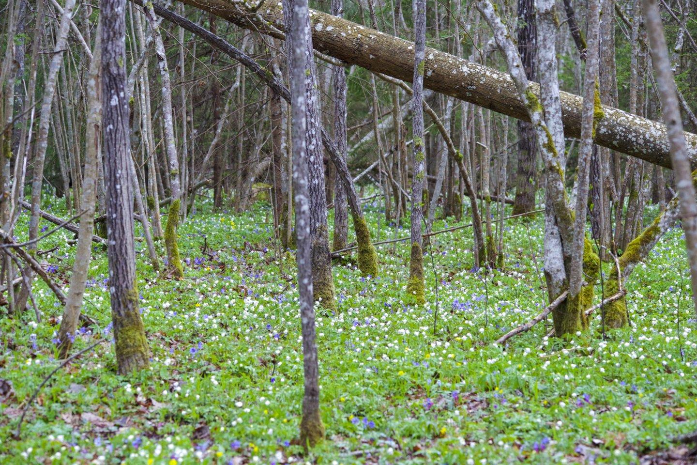 Pavasaris,miškas,gėlės,orai<br>V.Ščiavinsko nuotr.