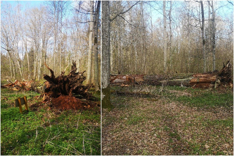 Vėjo nebeatlaikė ir nuvirto girininkijos pažiba ir pasididžiavimas, vienas seniausių bei storiausių Lietuvos ąžuolų – gamtos paminklas Šaravų ąžuolas.<br>Lrytas.lt koliažas