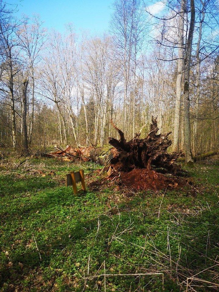 Šaravų ąžuolas.<br>Valstybinių miškų urėdijos nuotr.