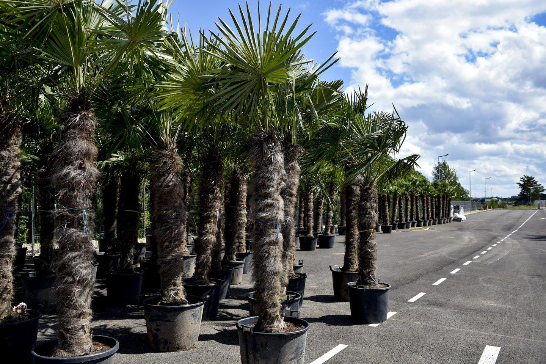 Pernai Lietuvoje buvo parduota per 300 palmių.<br>V.Ščiavinsko nuotr.
