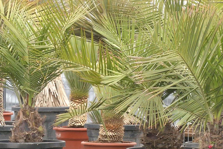 Pernai Lietuvoje buvo parduota per 300 palmių.<br>Stop kadras.