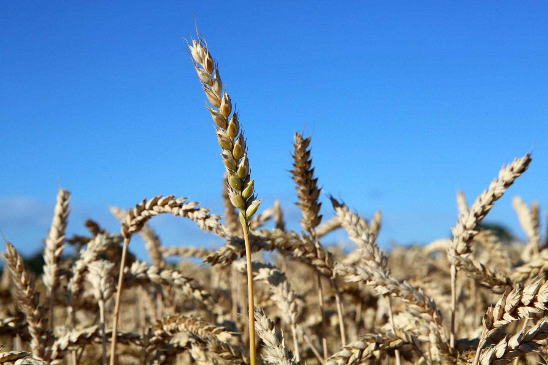 Pavasarį ir rudenį pasėliuose šeimininkauja išalkusios žąsys, gulbės ir gervės.<br>M.Patašiaus nuotr.
