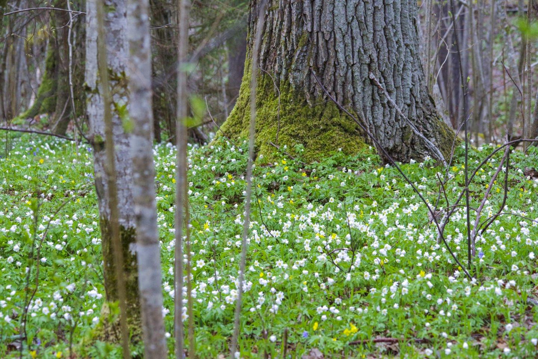 Lietuvoje veiklą pradedanti miško valdymo ir investavimo platforma sieks tapti vienaragiu.<br>V.Ščiavinsko nuotr.