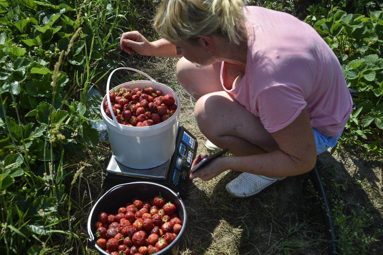 Braškių kainos kris, kai jos užderės pas vietos augintojus.<br>V.Ščiavinsko nuotr.