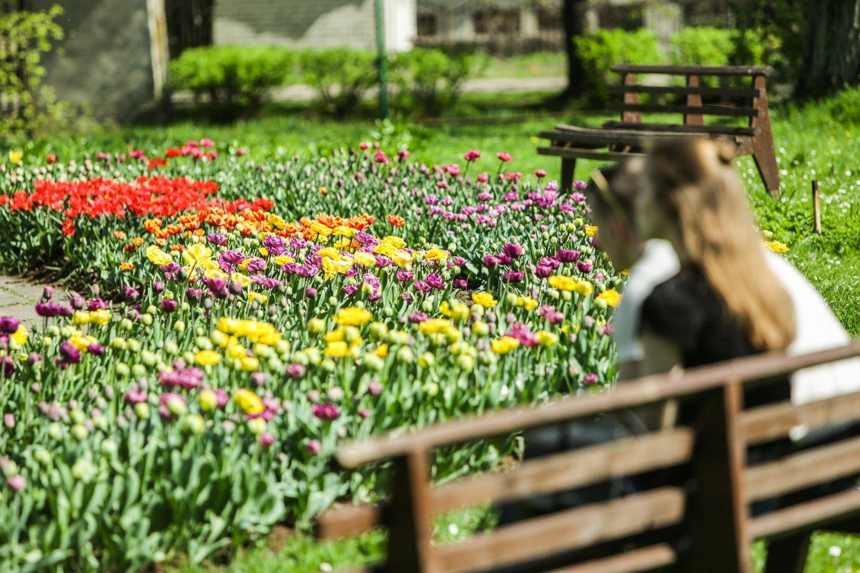 Vos kelios vasariškos šilumos dienos – ir Vytauto Didžiojo universiteto (VDU) Botanikos sodo tulpių ekspozicija sprogo žiedais<br>G.Bitvinsko nuotr.