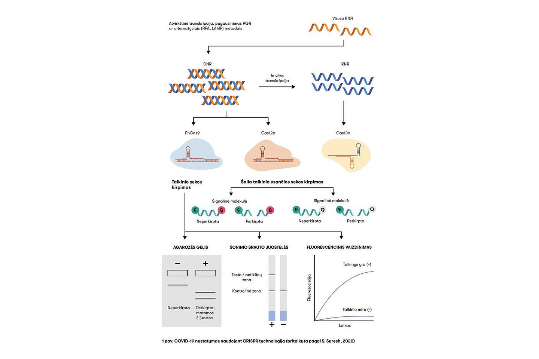 "COVID-19 nustatymas naudojant CRISPR technologiją.<br>""Spectrum"" iliustr."