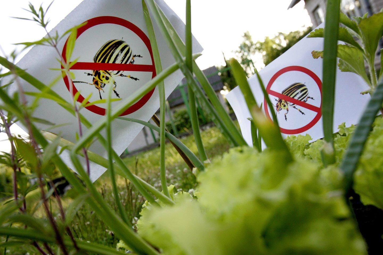 Norintiems gausaus derliaus, dainininkė Natalija Bunkė pataria, kaip apsaugoti savo daržą nuo kenkėjų.<br>V.Balkūno nuotr.