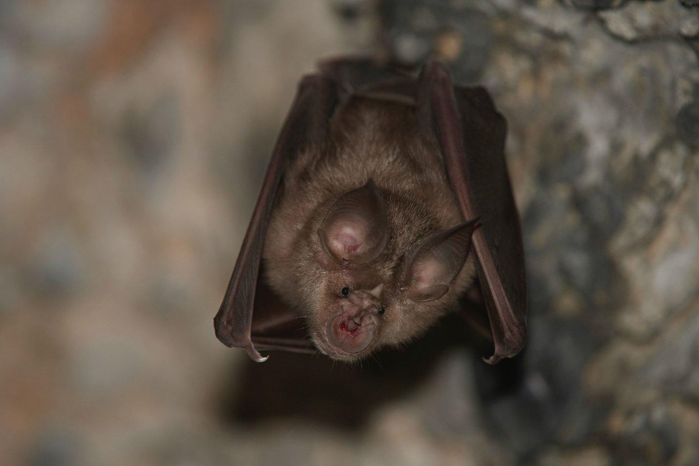 Į SARS-CoV-2 panašus viruso izoliatas buvo rastas ne tik šikšnosparniuose, bet ir malajiniuose skujuočiuose (lot.Manis javanica)