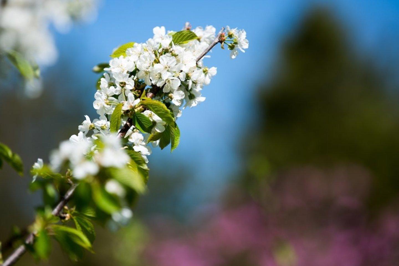 KU Botanikos sode auga penkiolika aštuonių skirtingų veislių magnolijų.<br>V.Jurevičienės nuotr.