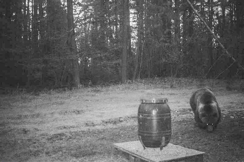 Lietuvoje vietinių rudųjų meškų ar lokių nėra jau seniai, užklysta nebent imigrantai.<br>ANP nuotr.