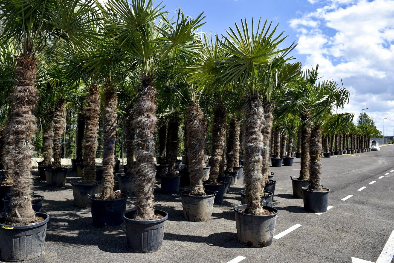 Po šalnų gegužės pradžioje sodininkai ir daržininkai socialiniuose tinkluose dalijosi nusivylimais – nors ir stengėsi, daugumai nepavyko išsaugoti palmių, kurias, anot augintojų, galima auginti mūsų klimato sąlygomis.<br>V.Ščiavinsko nuotr.