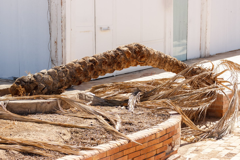Po šalnų gegužės pradžioje sodininkai ir daržininkai socialiniuose tinkluose dalijosi nusivylimais – nors ir stengėsi, daugumai nepavyko išsaugoti palmių, kurias, anot augintojų, galima auginti mūsų klimato sąlygomis.<br>123 rf nuotr.