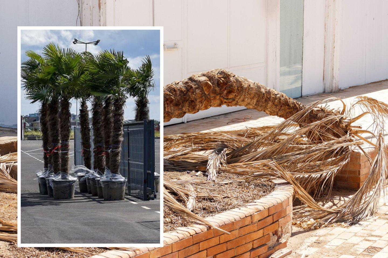 Po šalnų gegužės pradžioje sodininkai ir daržininkai socialiniuose tinkluose dalijosi nusivylimais – nors ir stengėsi, daugumai nepavyko išsaugoti palmių, kurias, anot augintojų, galima auginti mūsų klimato sąlygomis.<br>123rf.com asociatyvioji nuotr.