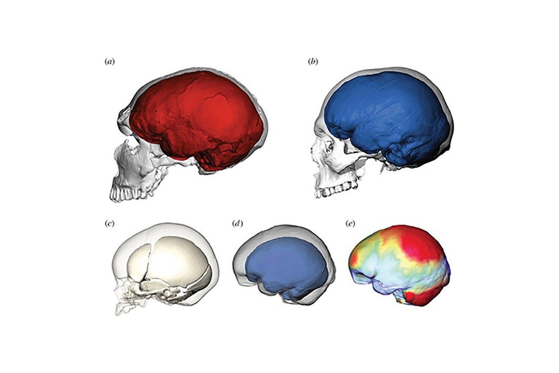 Neandertaliečių ir šiuolaikinių žmonių skirtumai.<br>Jean-Jacques Hublin / Simon Neubauer / Philipp Gunz iliustr.