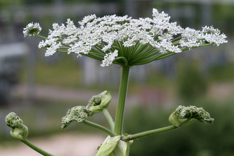 Žmonėms šis augalas pavojingas dėl stipraus jo sultyse esančio alergeno – furanokumarino, kuris, atsidūręs ant odos gali sukelti net 1-3 laipsnio nudegimus.<br>M.Patašiaus nuotr.