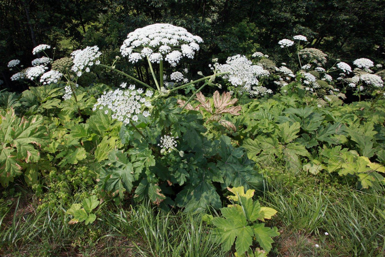 Žmonėms šis augalas pavojingas dėl stipraus jo sultyse esančio alergeno – furanokumarino, kuris, atsidūręs ant odos gali sukelti net 1-3 laipsnio nudegimus.<br>V.Balkūno nuotr.
