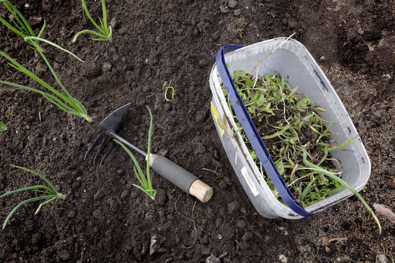 Daržas. lysvė, ravėjimas, piktžolės, kauptukas<br>V.Balkūno nuotr.