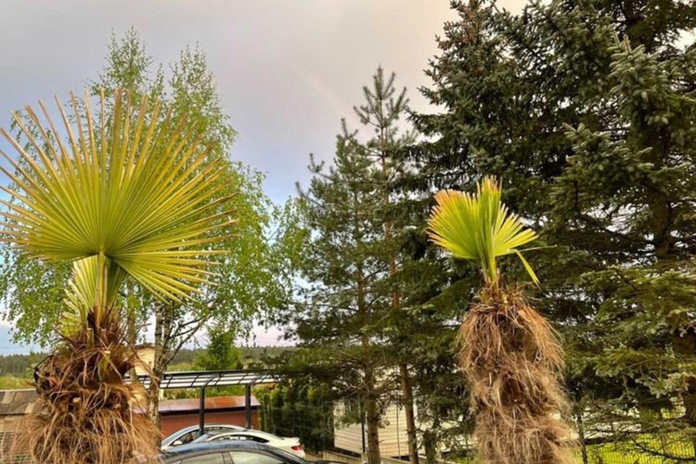 """Palmes į Lietuvą vežantys verslininkai pasidalijo klientų nuotraukomis iš Vilniaus, Kauno ir kitų miestų – palmės puikiai atlaikė šiųmetę žiemą.<br>""""Palmės Lietuvoje"""" (www.palme.lt) nuotr."""