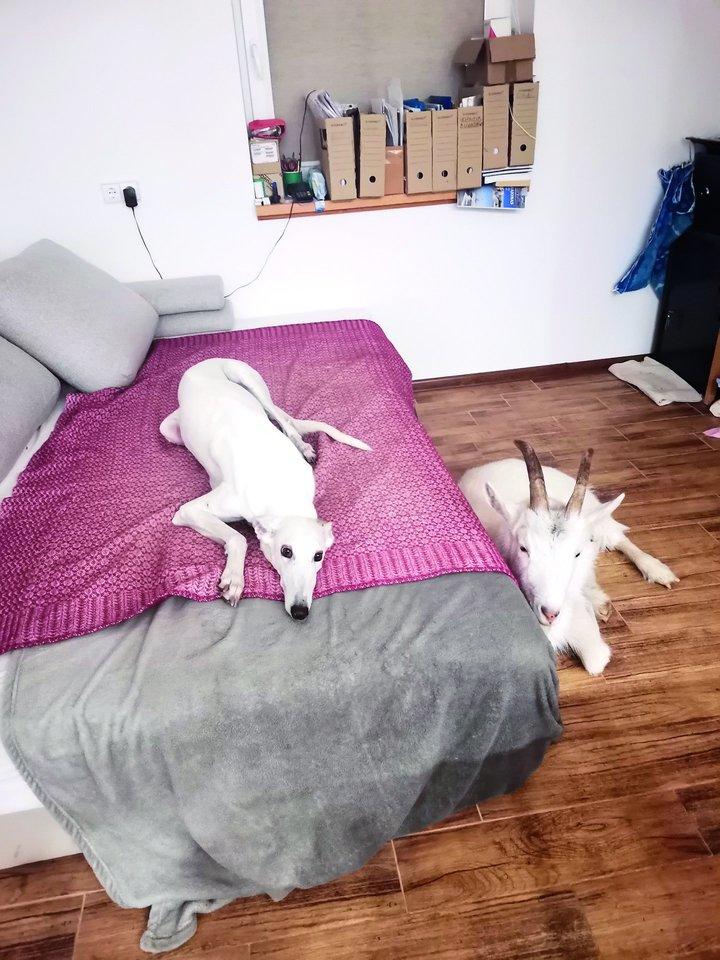 Išmaudytam Adomui kartais leidžiama prigulti ant šeimininko lovos, jis labiau mėgsta katino Petro, o ne kalaitės Vaitos draugiją.<br>Nuotr. iš asmeninio albumo