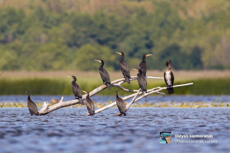 Didysis kormoranas.