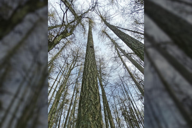 Miškininkai mano, kad kol kas aukščiausio šalies maumedžio būklė – gera, todėl jis atsparus vėjams, jokios specialios priežiūros medžiui nereikia.<br>A.Karaliūno nuotr.