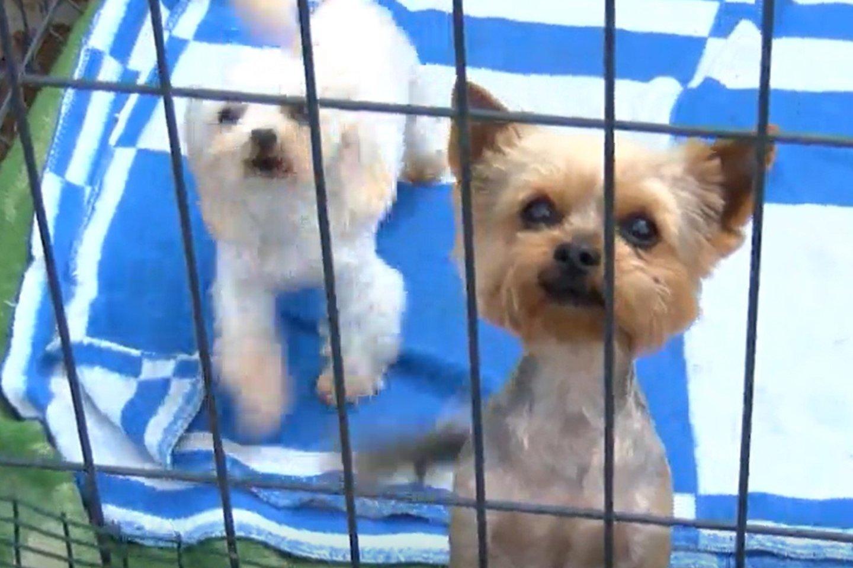 Klaipėdoje esančioje gyvūnų prieglaudoje dar kovo mėnesį parsivežus iš daugyklų konfiskuotus šunis užvirė tikras pragaras.<br>Stop kadras