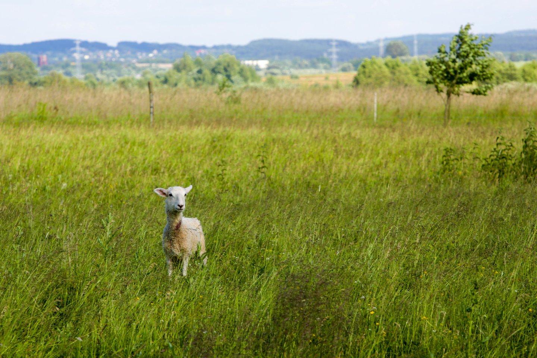 Plėšrūnai vieną po kitos pjovė avis, bet tik viena jų buvo apgraužta. Kitos su perkasta gerkle liko nepaliestos.<br>V.Balkūno nuotr.