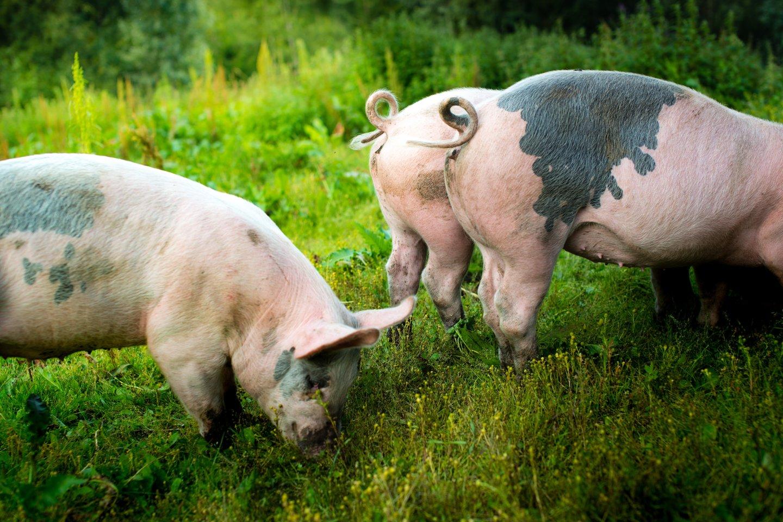 Anot naujo atlikto tyrimo, graužikai ir kiaulės taip pat gali kvėpuoti ir per savo... užpakalius.<br>123rf nuotr.