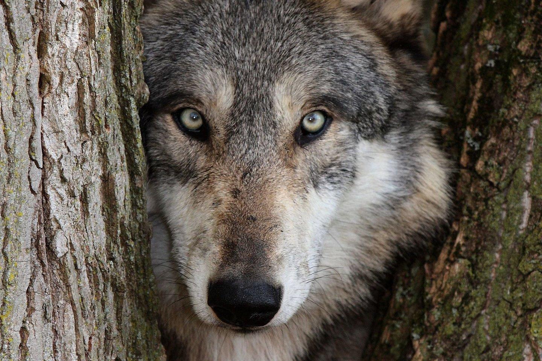 Seniai seniai kai kurie vilkai susiejo savo likimus su mūsų, pradėdami šią neišskiriamai likimus sujungusią nepaprastą meilės istoriją.<br>123rf nuotr.