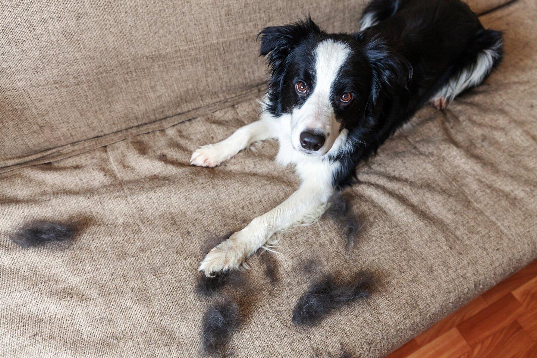 Gyvūnų kailio retėjimas gali pranešti apie ligą: simptomus lengva supainioti su įprastu šėrimusi.<br>123rf.com nuotr.