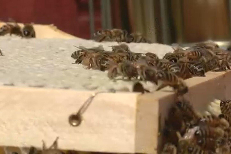 Kupiškio rajone bitininkai iš avilių jau iškėlė pirmuosius korius medaus.<br>Laidos stop kadras.