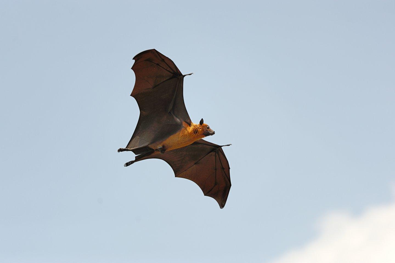 JAV Kolorado valstijos universiteto mokslininkai laisvėje gyvenančiuose afrikiniuose šikšnosparniuose aptiko Zikos viruso genetinės medžiagos.<br>123rf nuotr.
