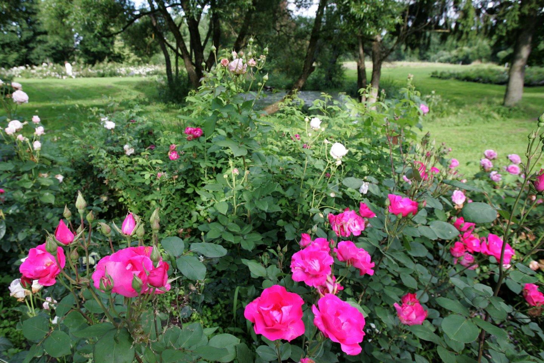 VDU botalikos sode pirmuosius žiedus išskleidė pusantro tūkstančio rožių veislių<br>V.Balkūno nuotr.