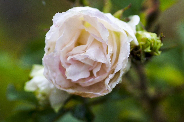 VDU botalikos sode pirmuosius žiedus išskleidė pusantro tūkstančio rožių veislių<br>V.Ščiavinsko nuotr.