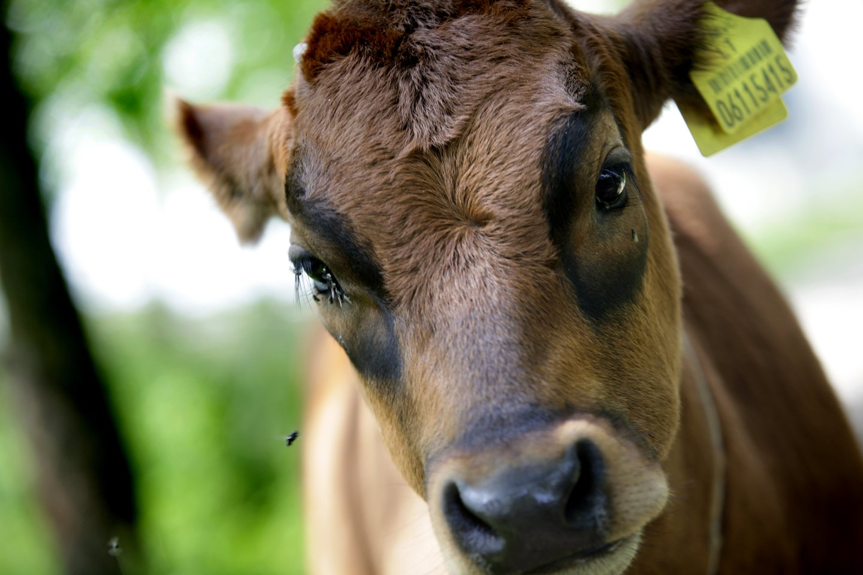 Aukcione mėsinius bulius pristatys Kelmės, Panevėžio, Anykščių, Rokiškio, Vilkaviškio ir Prienų rajonų ūkininkai.<br>V.Balkūno nuotr.
