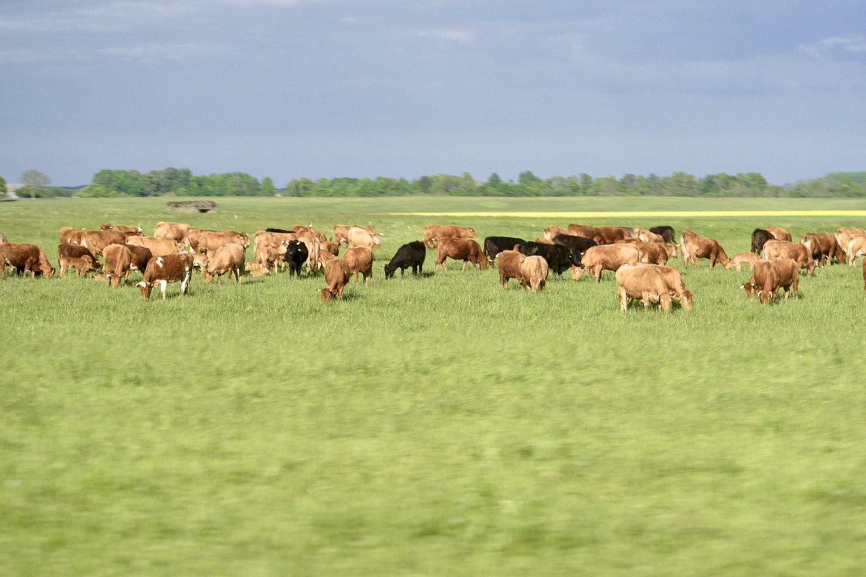 Pieno sektoriuje dirbantiems ūkininkams tenka spręsti daug sudėtingų problemų.<br>V.Ščiavinsko nuotr.