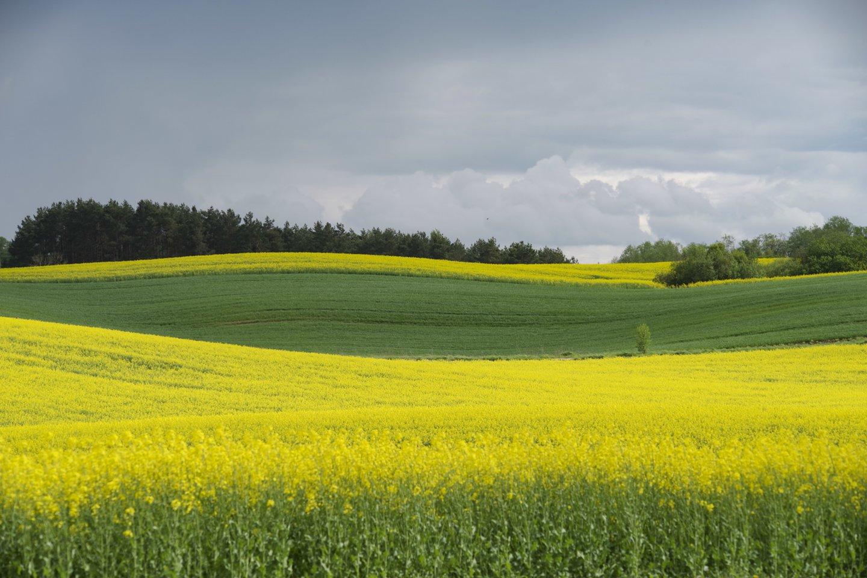 Duomenys iš Lietuvos ūkių, rodo, kad kol kas didžioji dalis vasarinių bei žieminių rapsų pasėlių yra geros būklės.<br>V.Ščiavinsko nuotr.