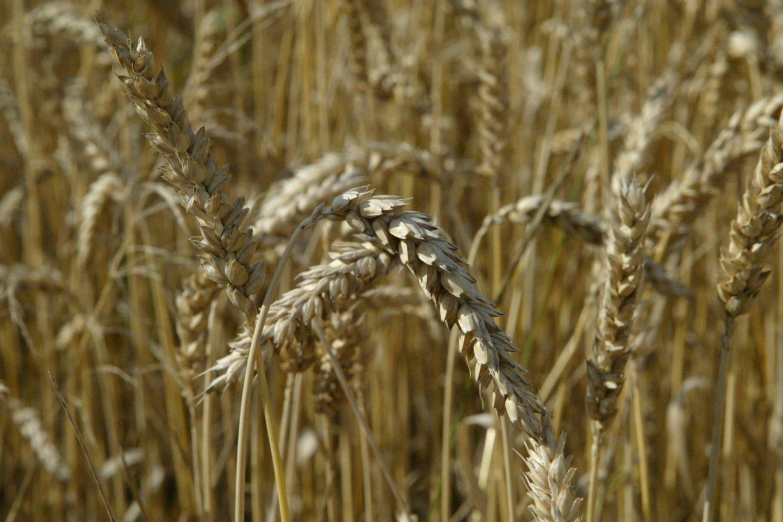 Rusija per pirmus keturis šių metų mėnesių eksportavo 9,5 mln. tonų kviečių ir kvietrugių – 19,2 proc. mažiau nei per tą patį laikotarpį pernai.<br>S.Bagdonavičiaus nuotr.