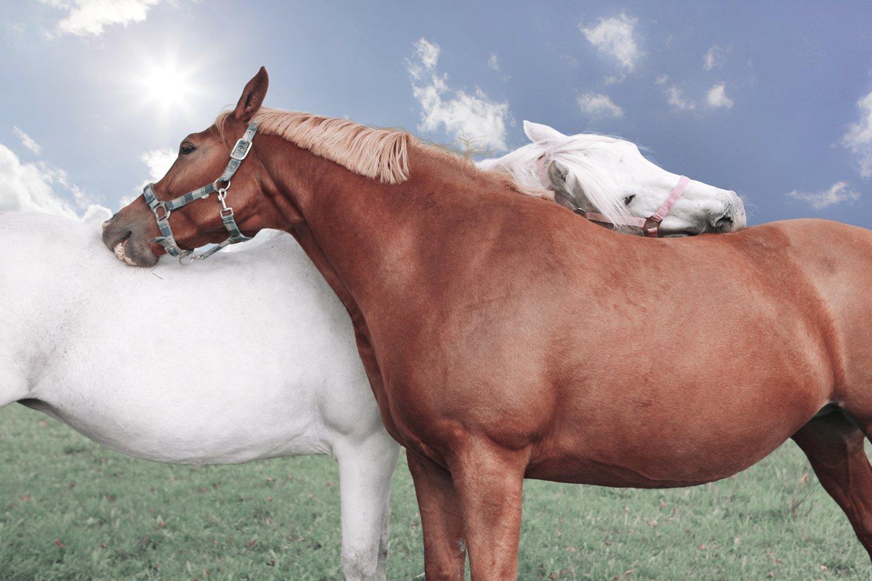 Pavyzdžiui, arkliai trinasi vienas į kitą, o tyrimai rodo, kad tai mažina jų širdies ritmą – kas yra komforto ir ramybės ženklas.<br>123rf nuotr.
