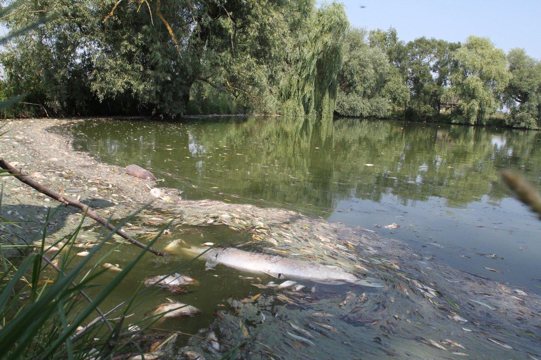 Kaišiadorių rajone iš vamzdynų trasos išsiliejus į tvenkinį fekalijoms, nugaišo daugybė žuvų.<br>M.Patašiaus asociatyvioji nuotr.
