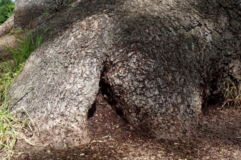 Po šaknimis apsigyvenusios skruzdėlės didelės žalos ąžuolui neturėtų padaryti.<br>M.Patašiaus nuotr.