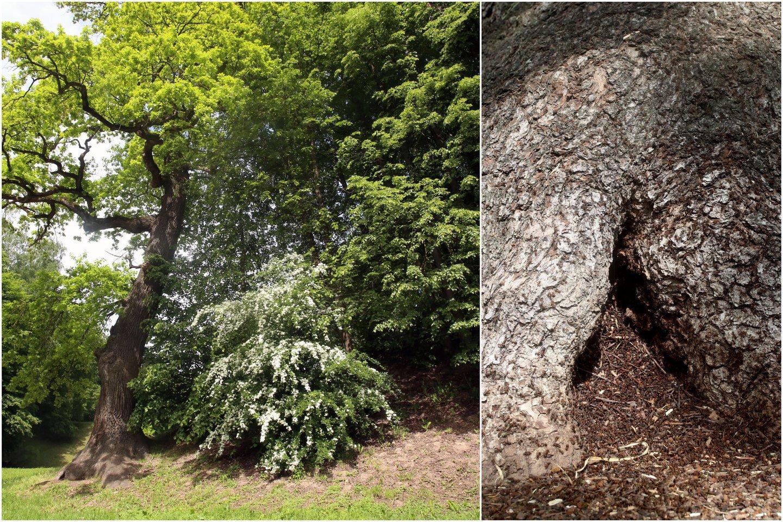 Po šaknimis apsigyvenusios skruzdėlės didelės žalos ąžuolui neturėtų padaryti.<br>Lrytas.lt koliažas