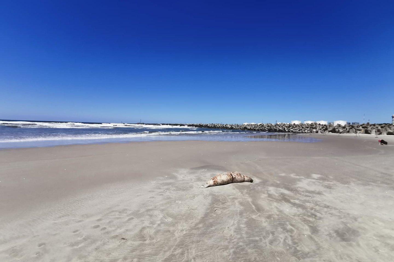 Poilsiautojai ant kranto aptiko ruonio gaišeną.<br>Skaitytojo nuotr.