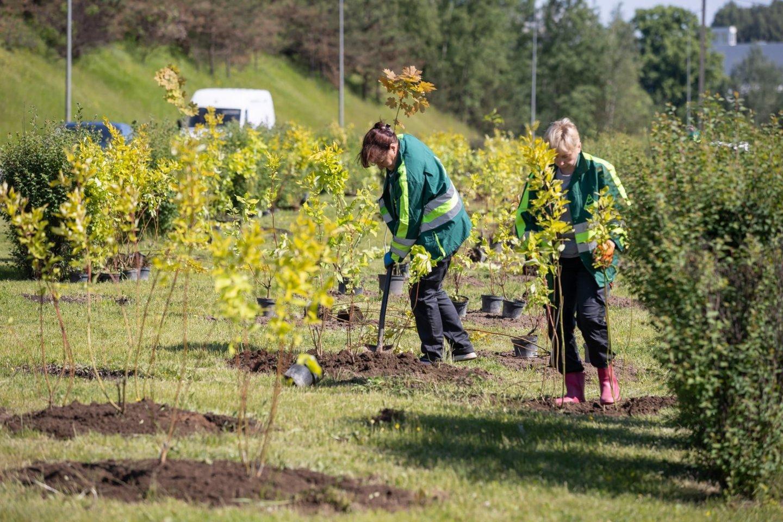 Geležinio Vilko g. susodino 1 500 sedulų sodinukų.<br>Vilniaus miesto savivaldybės nuotr.