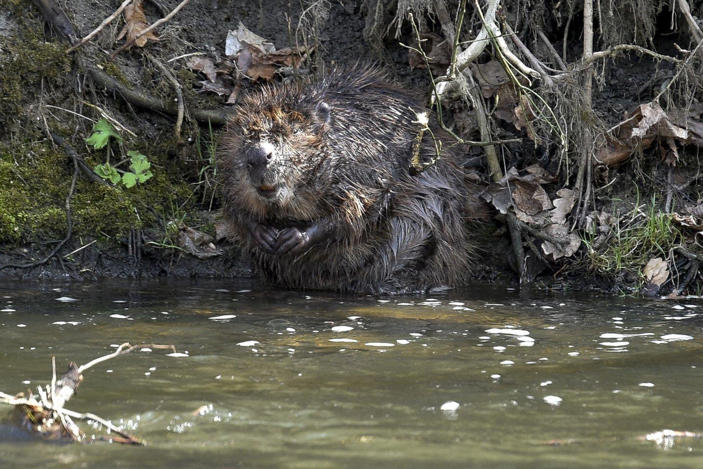 Miško lankytojai gali vis aiškiau pamatyti bebrų nugraužtus ir išvartytus medžius.<br>V.Ščiavinsko asociatyvi nuotr.