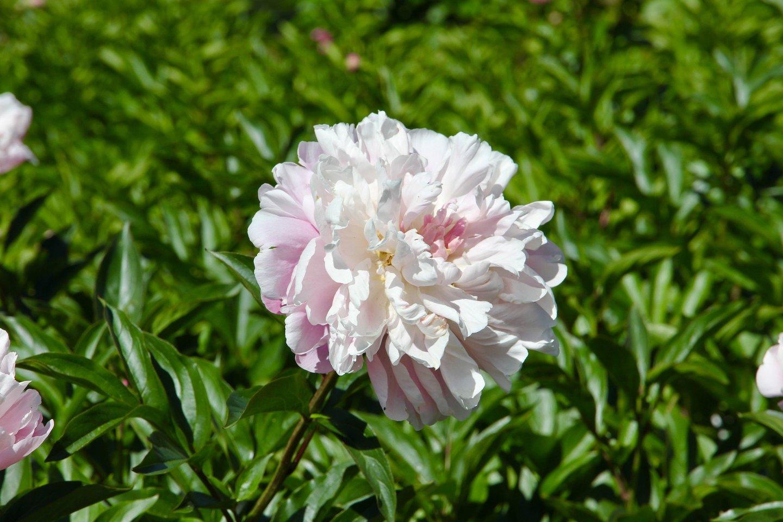 Šiemet bijūnai išaugo tiek skaičiumi, tiek vešlumu: kolekciją papildė net 150 naujų kolekcinių numerių (rūšių ir veislių), o dėl vėlyvo, bet palankaus pavasario ir tinkamos agrotechnikos bijūnai labai suvešėjo.<br>VDU Botanikos sodo nuotr.