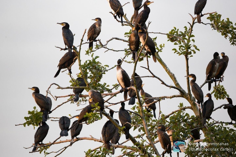 Didysis kormoranas
