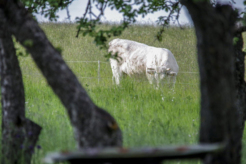 Kai žmogus laiko kelias karves, o supirkėjas tėra vienas, net ir skelbiant kainas jam niekas nesikeis.<br>V.Ščiavinsko nuotr.