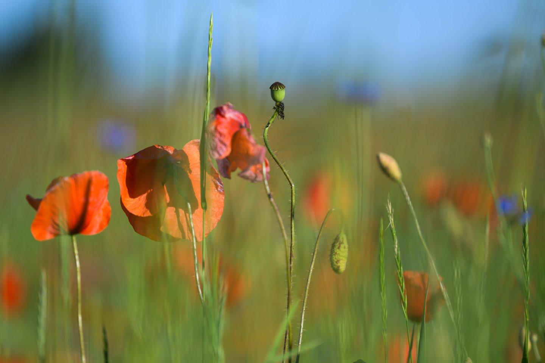Naujienų portalo lrytas.lt fotografas Vygintas Skaraitis užfiksavo aguonomis pasipuošusias pievas.<br>V. Skaraičio nuotr.